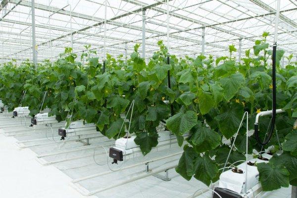 Краснодарский край в2016г увеличил производство тепличных овощей натреть