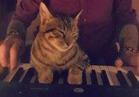 Кошка из Турции покорила социальные сети любовью к музыке (Видео)