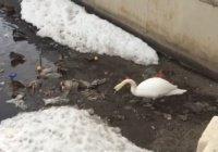 Казанский лебедь-уборщик стал экологическим символом города