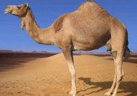 """Мощность двигателей в арабских странах будут измерять """"верблюжьими силами"""""""