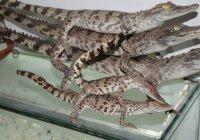 У пассажира в казанском аэропорту изъяли чучела крокодилов