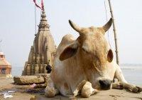 Мусульман Индии преследуют за разведение коров