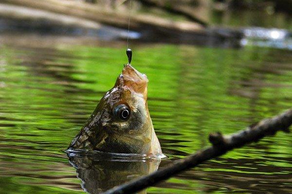 По единодушному мнению всех четырех мазхабов, любая рыба является халялем. Рыбе, как и любым другим морским животным, горло не перерезается