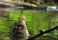 Распространяются ли на рыбу правила забоя по стандарту халяль?