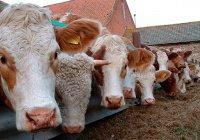 В Бельгии хотят запретить халяльный забой скота
