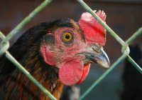 На птицекомплексе «Лаишевский» ищут источник птичьего гриппа