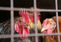 Карантин по птичьему гриппу введен еще в 4 районах РТ
