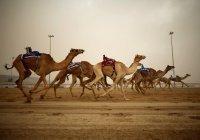 В Иорданской пустыне прошли верблюжьи скачки (Видео)