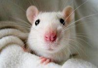 В Казани стартует интерактивная выставка декоративных крыс