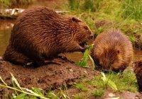 В прудах-отстойниках Нижнекамска поселились бобры и лебеди