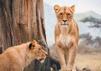 В зоопарке Казани поселились 2 молодые львицы