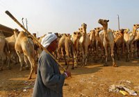 Саудовская Аравия депортировала 15 тысяч верблюдов и 10 тысяч овец