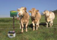 В Татарстане коров пасут электронные пастухи