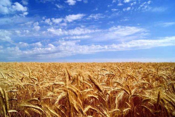 Джибриль принес из Рая пшеницу и научил Адама сеять и собирать ее