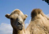 Саудовский король учредил клуб любителей верблюдов