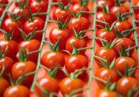 В Россию могут вернуться турецкие томаты