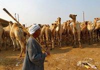 Эпидемиологи призвали хаджиев «не общаться» с верблюдами