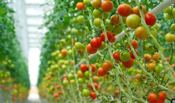 Татарстан в топ-5 самых крупных производителей тепличных овощей России