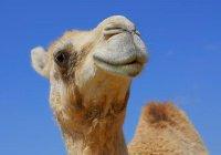 В Елабуге на одной из улиц замечен верблюд (ФОТО)