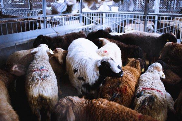 С точки зрения курбана как поклонения, пол животного не имеет значения.