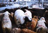 Животное какого пола лучше всего приносить в жертву?