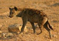 В Кении гиена предотвратила крупный теракт