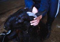 Каким критериям должно отвечать жертвенное животное?