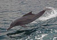 Возле Абу-Даби найдена рекордная популяция горбатого дельфина