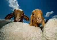 Какого возраста должны быть жертвенные животные?