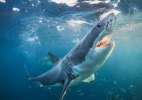 Зуб акулы в ломтике хлеба нашел австралиец