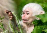 Впервые за полвека в зоопарке родилась белая обезьяна (ФОТО)