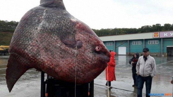 Во многих странах Азии рыба является деликатесом, включая Китай и Японию