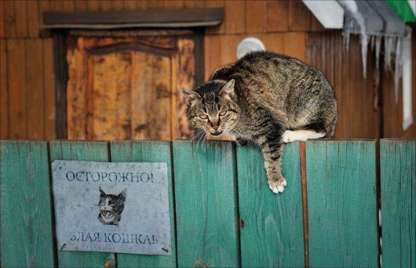 По словам специалистов, проявляет сильную агрессию каждая 4-я кошка, а 80% питомцев имеют скверный характер