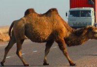 ДТП с верблюдом в Казахстане унесло жизни пяти человек