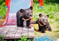2 гималайских медвежат-сирот вернули в дикую природу в Приморье