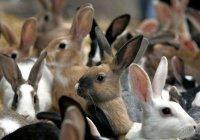 Правда ли что разведение кроликов является дурным предзнаменованием?