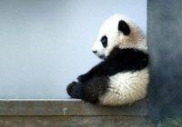 В Токио предложили 320 тысяч имен для маленькой панды