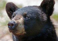 Канадец вежливо прогнал 3 медведей (ВИДЕО)