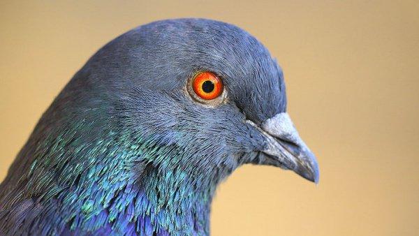 Голуби думают скорее людей— Ученые