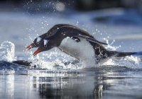 Пингвины из Африки охотятся стаями