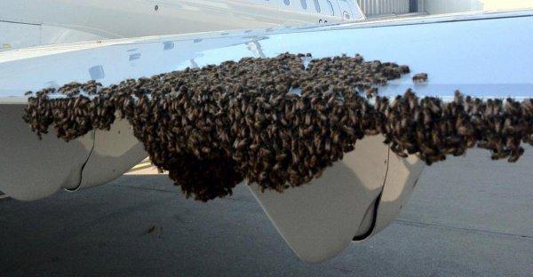Тысячи пчел остановили самолет в Индонезии