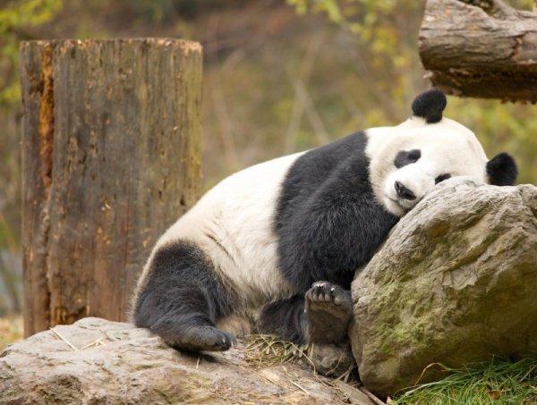 Китай отправил двух панд вИндонезию врамках «панда-дипломатии»