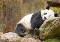 Китай и Индонезию подружат панды