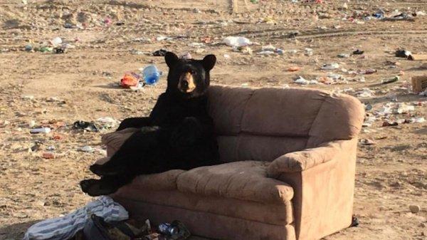 В Канаде сфотографировали дикого медведя на диване (ФОТО)
