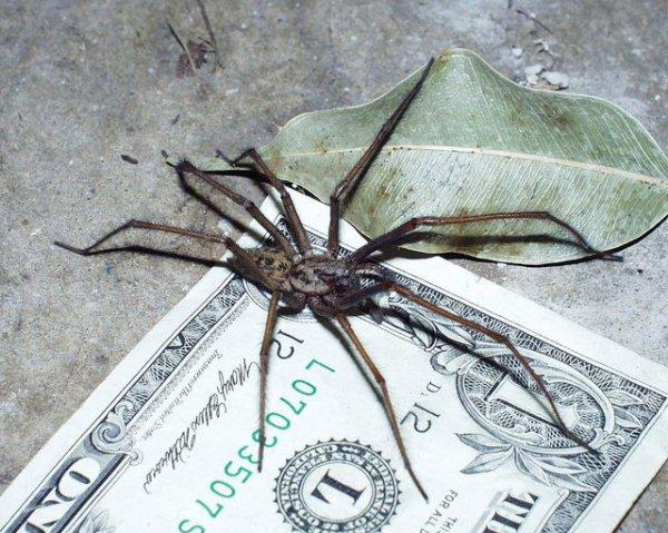 Укусы гигантских домашних пауков не опасны