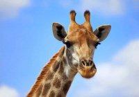 В США жираф помог сделать предложение