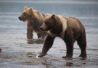 Медведица с редким окрасом поселилась на Камчатке (ФОТО)