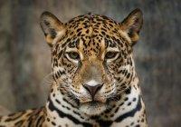 Автозавод в Индии эвакуировали из-за леопарда
