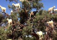 В этой мусульманской стране козы пасутся на деревьях. Узнайте почему