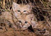 Кошки пустыни: впервые в истории их смогли снять на камеру
